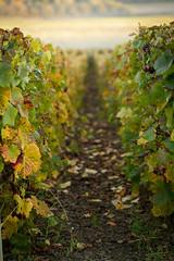 France Viticole (Benjamin Roussel) Tags: nature champagne vin vigne brousselphotos