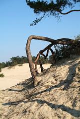 Hulshorsterzand boomwortels van een vliegden komen door verstuiving bloot te liggen Veluwe Gelderland april 2007 (wally nelemans) Tags: holland nederland thenetherlands fir treeroots veluwe 2007 zandverstuiving blowingsand boomwortels hulshorsterzand vliegden