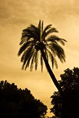 Parque María Luisa (Migue Díaz Rodríguez.) Tags: plaza parque sunset españa sun sol contraluz sevilla maria luisa palmera