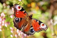 (Käpylä) Tags: summer nature canon butterfly io inachis 500d nymphalis