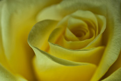 11-03-yellow-rose (Paul Sibley) Tags: flower photoaday nikond60 2012inphotos