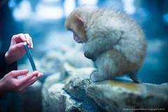 Testing of iPhone 6 ), Jigokudani Monkey Park, Nagano, Japan (jev) Tags: leica snow ecology weather animal animals monkey wildlife rangefinder beast environment onsen snowing noctilux creatures creature mammals environmentalism nagano primate asph beasts ecosystem zoology jigokudani iphone snowmonkey japanesemacaque hellsvalley nocti undomesticatedanimals 06000000 06006000 06006005 leicam9 jigokudaniyaenkoenpark iphone6 noctiluxm50mmf095asph leicaimages yokoyurivervalley