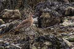Curlew. (Explored) (Esox2402) Tags: bird birds canon rocks 300mm curlew 550d canonef300mmf4lisusm
