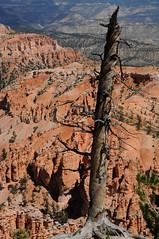 0691_USA 2012 - Utah 12 (Scenic Byway 12) - Bryce Canyon National Park / Utah (Tsinoul) Tags: park inspiration utah nationalpark nikon rocks nationalforest bryce brycecanyon inspirationpoint arbre parc dixie brycecanyonnationalpark scenicbyway dixienationalforest parcnational scenicbyway12 utah12 d300s nikond300s utah63