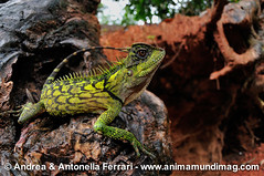 www.animamundimag.com (AnimaMundiMagazine) Tags: travel trekking insect seaside rainforest seasia photographer reptile snake wildlife amphibian frog adventure coastal jungle malaysia endangered cloudforest rare tropics ecotourism teaplantations montane