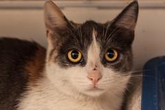 botrillina (candido.dessanti) Tags: roma kitten gatti gattina botrillina
