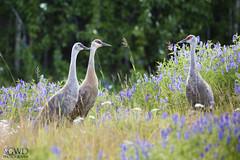Sandhill Crane (GWD Photography) Tags: canon 5d 100400 bird sandhill crane ak alaska fairbanks creamersfield grass field meadow flowers summer