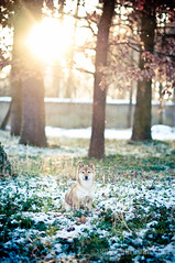 [Explored] Cassy, my shiba inu (Yanis Ourabah) Tags: winter light dog chien sun snow france japanese 50mm nikon lyon hiver 14 shiba cassy japonais niege inu d300s