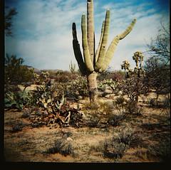 (K e v i n) Tags: camera arizona cactus southwest film nature analog cacti outdoors lomo lomography desert lofi az saguaro dianaf firstroll sonorandesert lomograph 1stroll marana southernarizona southernaz lomography800