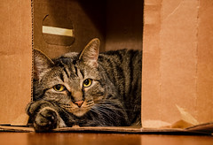 Felix the Cat and his Cardboard Box (tacoma290) Tags: pet home cat nikon long exposure felix box content safety tacoma adoption humanesociety dsh felixthecat felixthecatandhiscardboardbox piercecountyhumanesociety