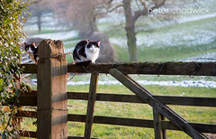 Cats (PeterChad) Tags: pet field cat feline gate cheshire farm whiskers gatepost farmyard