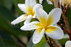 Summer Rain (jsnowy2768) Tags: sun macro nature beauty rain petals drops blossom australia qld queensland frangipani bloom