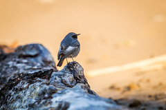 On The Beach (Andrea LD Nature) Tags: bird wings phoenicurus spazzacamino ochruros codirosso