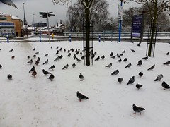 Pigeons In The Snow - West Bromwich (Retroscania!) Tags: snow birds pigeon