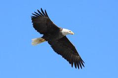 Eagle 05 (HeadPhotography) Tags: mississippi eagle baldeagle bald iowa mississippiriver lockanddam lockdam leclaire lockanddam14 leclaireia lockdam14