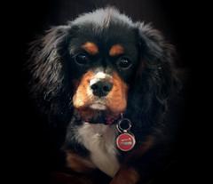 Ollie Portrait......(Explored) thanks :-) (Jak 45) Tags: