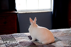 bunny watching the snow outside (isewcute) Tags: winter ohio cute bunny bigeyes jumping conejo yuki lapin houserabbit whiterabbit dwarfbunny jumpingonthebed bunnyrabbit ourpet 2013 hotot isewcute