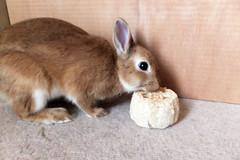 Ichigo san 244 ICHIGO san  (mensore) Tags: family pet brown cute rabbit bunny dwarf netherland ichigo   netherlanddwarf