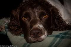 Just waiting (Flemming Andersen) Tags: sleeping animal denmark outdoor give hund dk zigzag regionsyddanmark