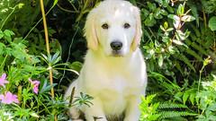 Charlie 11 weeks (Mark Rainbird) Tags: uk england dog canon garden puppy unitedkingdom retriever charlie powershots100 burghfieldcommon