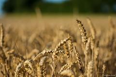 DSC_1181 (Marlon Fried) Tags: macro makro bokeh getreide cereals weizen wheat field crops grain