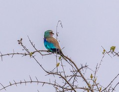 Lilac-breasted Roller_3433-20151015 (C&P_Pics) Tags: cac kruger lilacbreastedroller rollers satara skukuzacamp southafrica2015 krugerpark mpumalanga southafrica za