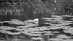 Water lily (PicturesThatIDoneTook) Tags: canon ae1p fd film analog ilford delta ilforddelta bw