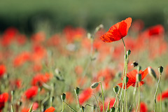 Rouge coquelicot (Excalibur67) Tags: nikon d7100 tamron sp70300divcusd flowers fleurs coquelicots poppies pavots paysages landscape rouge red