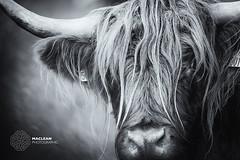 Highland Cows in Glen Lochay (MacLeanPhotographic) Tags: fujifilm highlands landscape scotland xt2 xf100400mm mono blackandwhite cow highlandcow highlandsofscotland
