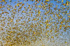 IMG_0334.jpg (Paul Williams www.IronAmmonitePhotography.com) Tags: bird budgerigar summer murmuration dryseason melopsittacusundulatus australia