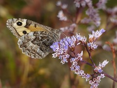 Grayling (ukstormchaser (A.k.a The Bug Whisperer)) Tags: grayling butterfly butterflies uk fly flies animal animals wildlife holkham beach flower flowers feeding august morning summer plant plants