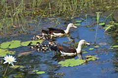 Radjah Shelduck (Tadorna radjah) (shaneblackfnq) Tags: radjah shelduck tadorna shaneblack burdekin blackbacked wonga beach mossman daintree river fnq far north queensland australia tropics tropical ducklings