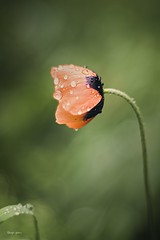 poppy-2 (ang-yan) Tags: meyeroptik grlitz oreston 50mm f18 wide open angel yanev poppy
