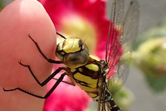 Dragonfly kissing my finger    EXPLORE #    06.09.2016 (libra1054) Tags: dragonflies libellule libellen libellules libêlulas insectos insects insekten insetti insectes macro nature natur natura outdoor