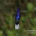 Violet Sabrewing, Campylopterus hemileucurus