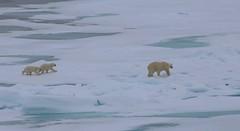 female polar bear with two cubs on sea ice (nick taz) Tags: polarbears cubs arctic seaice spitsbergen