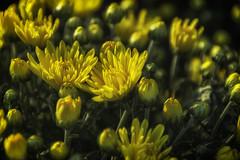 DSC_0137 fall flowers (snolic...linda) Tags: arkansas 501 fall mums flowers