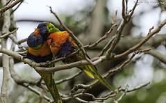 Loved Up Lorikeets (vscarf10) Tags: caon dslr eos handheld 5dmkiii markiii 100400mmii zoom lorikeets birds love kissing bright vibrant color colour colorful colourful feathers beak tail green yellow orange blue eyes tree branch
