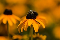 Just Another Day On The Job (catmccray) Tags: yellowflower bee summer rudbeckia