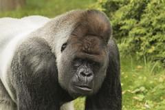 Bokito - Blijdorp (Jan de Neijs Photography) Tags: bokito blijdorp dierentuin zoo rotterdam aap zilverrug zilverruggorilla gorilla tamron tamron150600