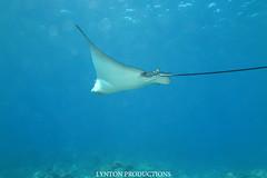 IMG_0060 (Aaron Lynton) Tags: lyntonproductions tako honu turtle hawaii maui underwater canon g1x spotted eagle ray octopus sea star