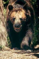 Buzzkill(er) (Oddernod) Tags: brownbear bear tamron mammal seattle zoo canon70d outdoor canon tamron70300 woodlandpark animal