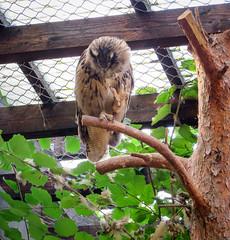 IMG_5292 (jaglazier) Tags: 2016 91416 animals bielefeld bielefeldzoo birds copyright2016jamesaglazier germany owls september teutoburg teutoburgforest teutoburgerwald zoos parks nordrheinwestfalen
