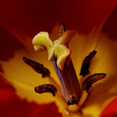 Tulip star (the.flea) Tags: macromondays stars maco flea tulipe tulip tulipa rouge jaune fleur flower