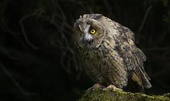 Long eared owl (_pauls) Tags: longearedowl captive photographyworkshop birdofprey