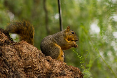 Fox Squirrel on the pepper tree (suzeesusie) Tags: squirrel squirrels losangeles california outdoors garden wildlife animal eating tree nature furry