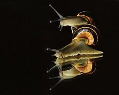 094 (3) Snail Upon Snail (srypstra) Tags: grove snails macromondays inthemirror