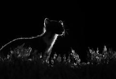Pine marten (Mike Mckenzie8) Tags: martes scottish scotland wild wildlife uk british mammal flash lighting rim heather night nocturnal predator outdoor canon