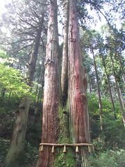 Niigata/Ibaraki '16 #18 (tt64jp) Tags:       japan ibaraki hitachi oiwashrine shrine shinto japon  sanctuary religion japanese   sacred spiritual   history lhistoire    cedar  sacredtree  shimenawa