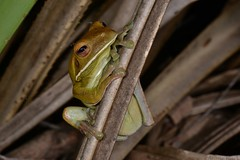 Lovely Lashes (shaneblackfnq) Tags: whitelipped tree frog litoria infrafrenata shaneblack amphibian julatten fnq far north queensland australia tropics tropical eye lash brow lashes mosquito